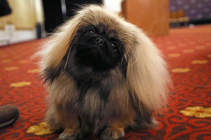 westminster dog show dog show facts